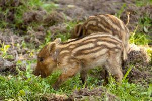 animal_baby_boar