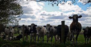 cows_204128