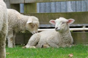 sheep_lamb_new_zealand
