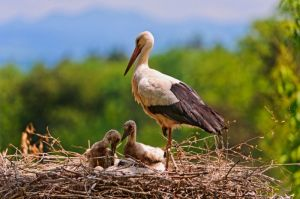 stork_and_babies_559705